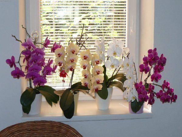 Как правильно содержать в квартире орхидеи