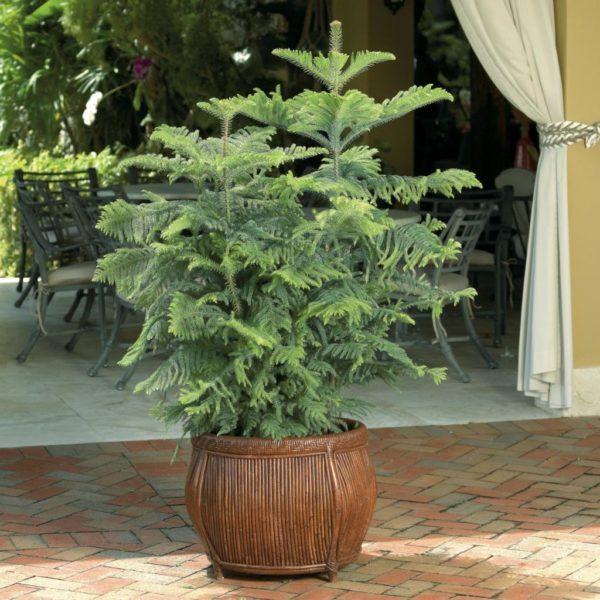Какие хвойные растения можно выращивать в самой обычной квартире