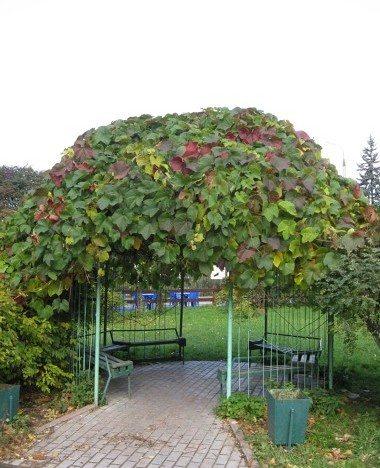 На фото – покрытая виноградом беседка